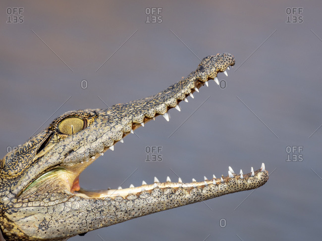 Head detail of a juvenile Nile crocodile (Crocodylus niloticus), basking in the sun, Lake Kariba, Zimbabwe, Africa