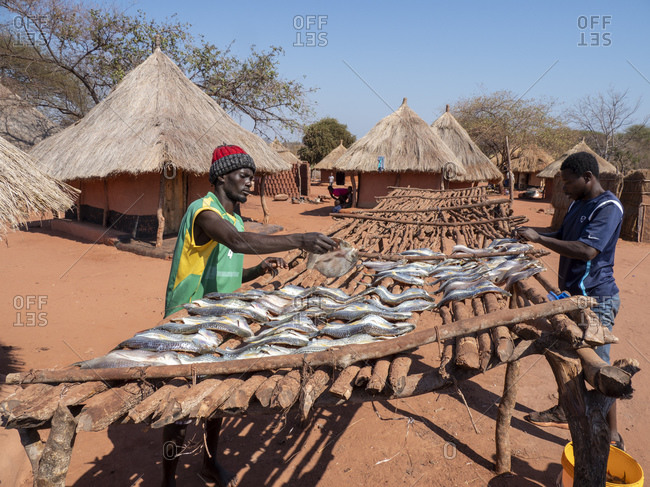 September 5, 2019: The days catch of fish drying in the sun in the fishing village of Musamba, on the shoreline of Lake Kariba, Zimbabwe, Africa