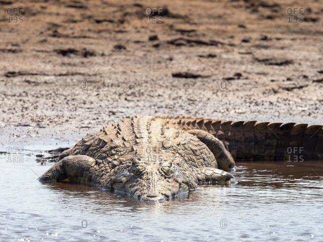 An adult Nile crocodile (Crocodylus niloticus), basking in the sun on the shoreline of Lake Kariba, Zimbabwe, Africa
