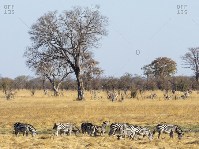 A herd of plains zebras (Equus quagga) grazing in Hwange National Park, Zimbabwe, Africa