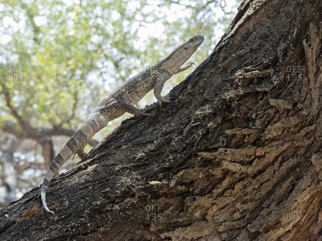 Adult white-throated savanna monitor (Varanus albigularis), climbing a tree in the Save Valley Conservancy, Zimbabwe, Africa