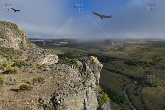 Andean Condors (Vultur gryphus) flying over high cliffs, Coyhaique Alto, Aysen Region, Patagonia, Chile, South America