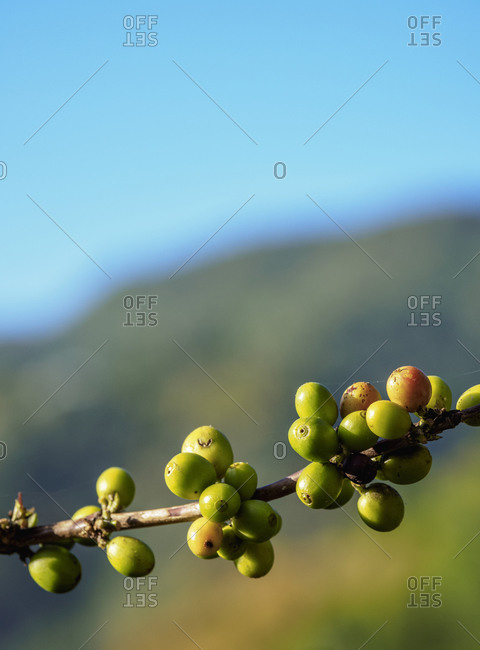 Coffea cherries at Coffee Plantation, Blue Mountains, Saint Andrew Parish, Jamaica, West Indies, Caribbean, Central America