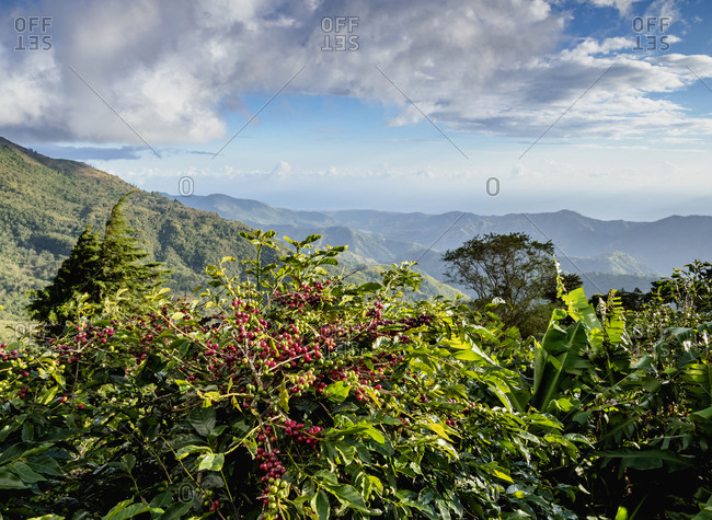 Coffea cherries at Coffee Plantation, Blue Mountains, Saint Thomas Parish, Jamaica, West Indies, Caribbean, Central America