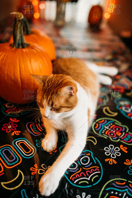 An orange and white cat sitting on a skeleton tablecloth at Halloween