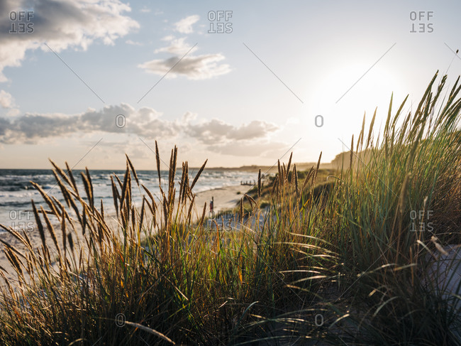 Tall grass on beach at sunset on the coast of Sweden