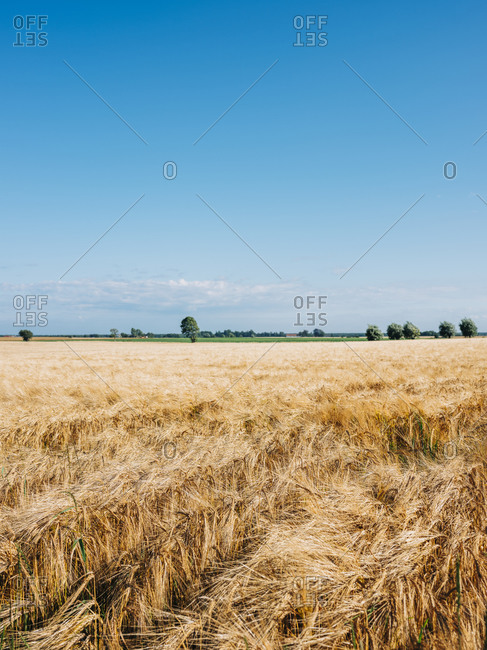 Golden crop in rural landscape in Osterlen, Sweden