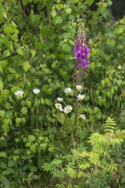 Purple foxglove and daisy flowers