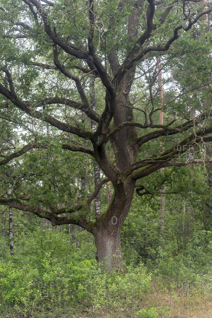 Large old tree in the forest