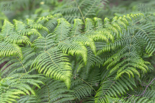 Verdant ferns growing in nature