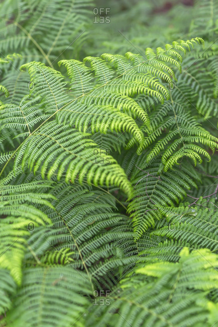 Lush verdant ferns growing in nature
