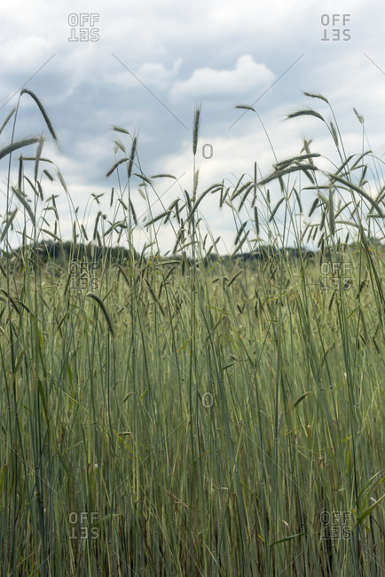 Tall green wheat plants in a field
