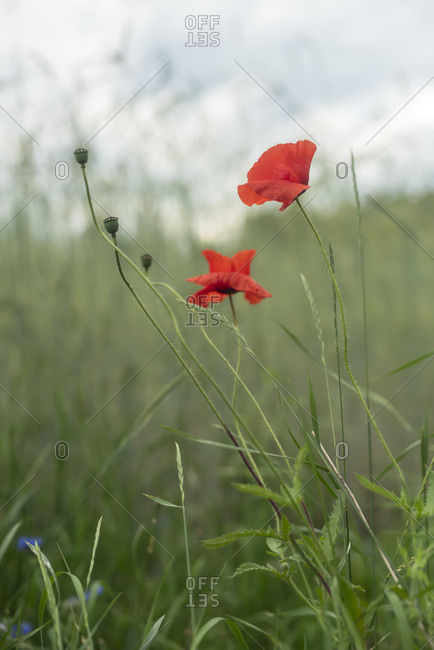 Red poppies blooming in a field