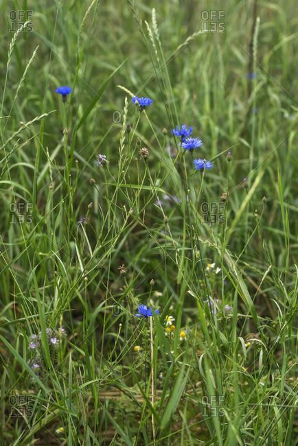 Small blue wildflowers in a field