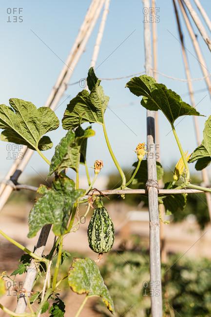 A squash growing on trellis in a garden