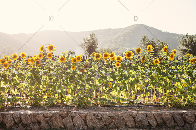 Tall sunflowers growing in the summertime