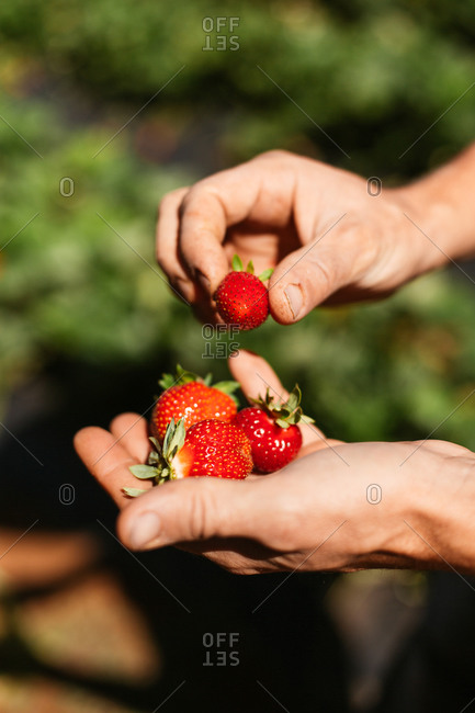 Man holding a handful of fresh picked strawberries in a garden