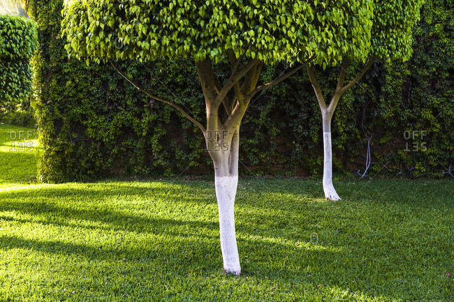Pruned trees and green lawn