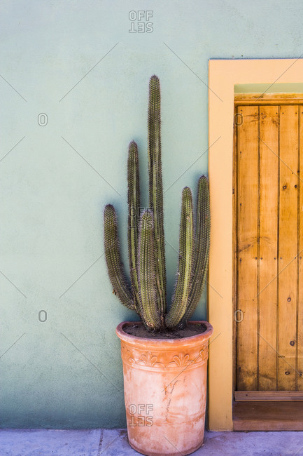 Tall cactus in a pot on a terrace