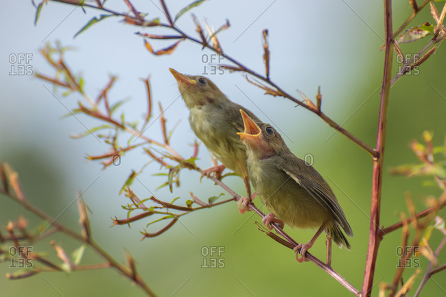 Young bar winged prinia on tree branch