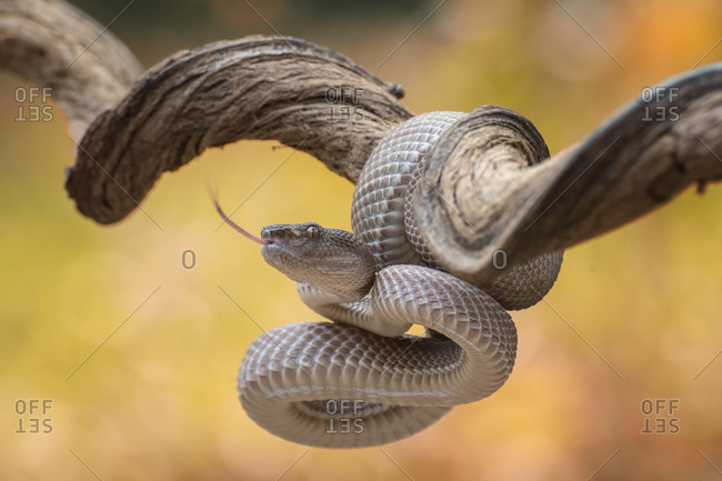 Trimeresurus purpureomaculatus is a venomous pit viper species native