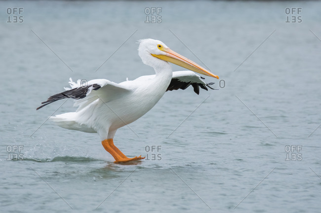 A white-pelican coming in for a landing