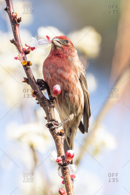 A house finch eating a bloom