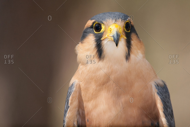 A portrait of an Aplomado Falcon