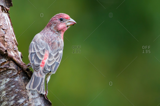 A House Finch Perched on a Log