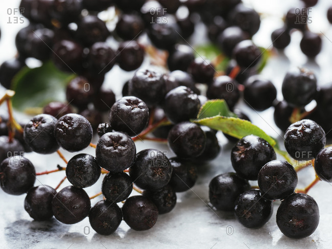 Fresh purple chokeberries (Aronia prunifolia ) on marble
