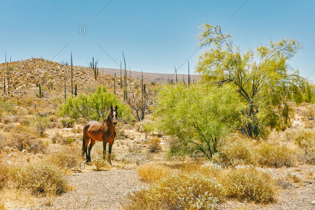 Horse tied up to tree in the desert of Baja, Mexico during summer day.