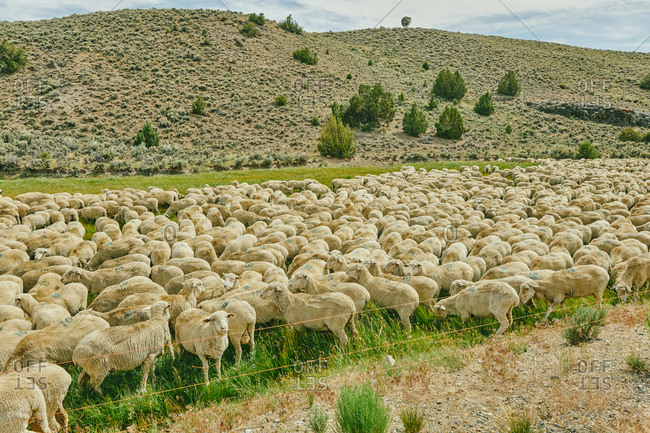 Herd of sheep grazing in a pasture near Bodie in northern California.
