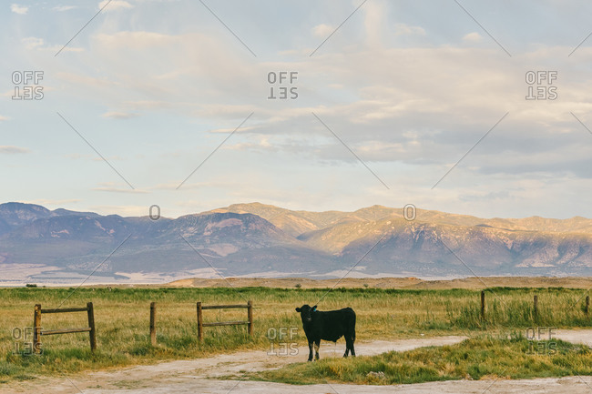 Sunset over farm land with cow and fence in Meadow, Utah