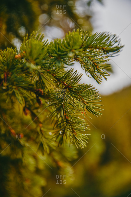 Pines and pinecones with dew during sunset near Aspen, Colorado.