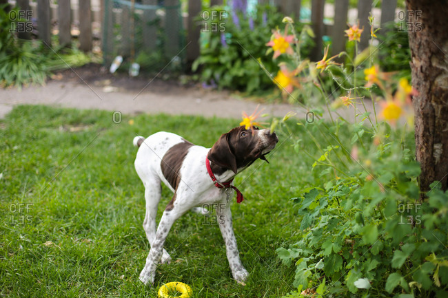German Shorthaired Pointer puppy outside during the spring