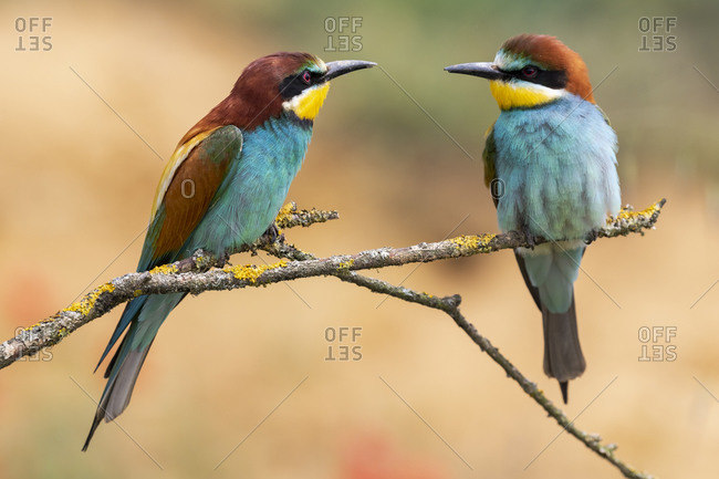 European Bee-eater, Merops apiaster, two individuals perched on a branch against an unfocused background.