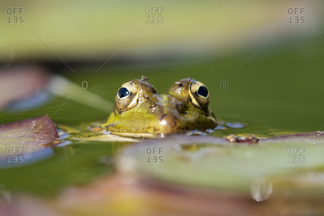 Selective focus of Iberian green frog (Pelophylax perezi), between lily pads
