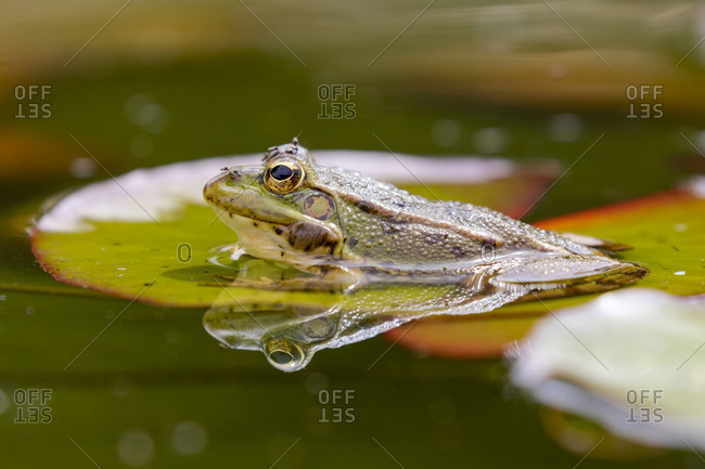 Iberian green frog (Pelophylax perezi), among lily pads. Selective focus