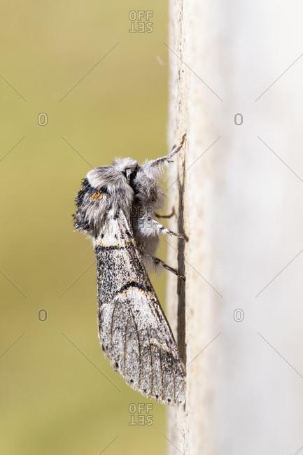 Poplar kitten moth (furcula bifida). Night butterfly of the family Notodontidae, resting on a wooden board. Vertical format