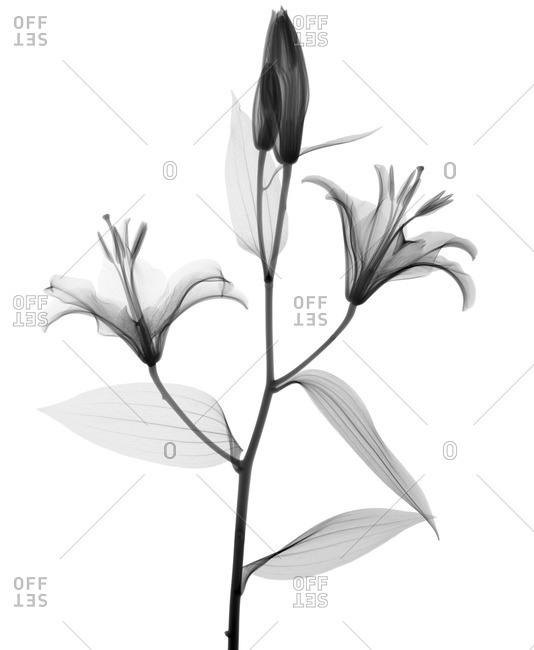 Stargazer lily (Lilium 'Stargazer'), X-ray.