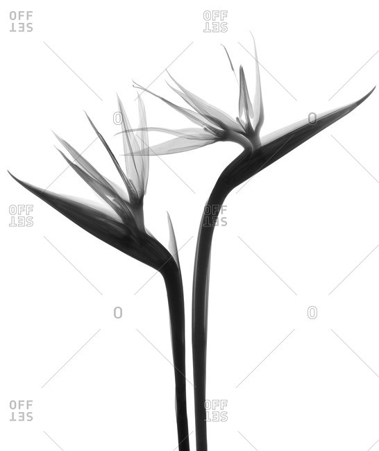 Two bird of paradise flowers (Strelitzia sp.), X-ray.