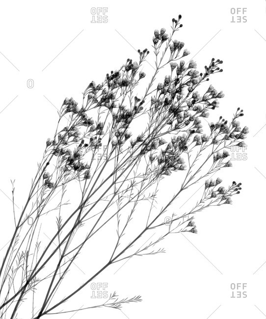 X-ray of Waxflower (Chamelaucium uncinatum)