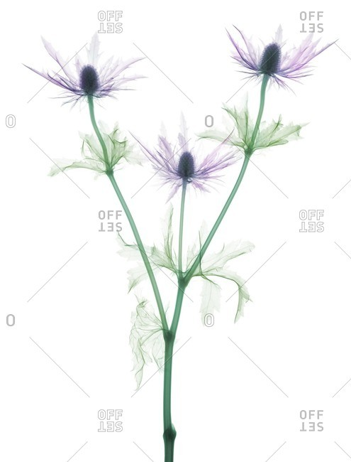 Sea holly (Eryngium bourgatii), colored X-ray