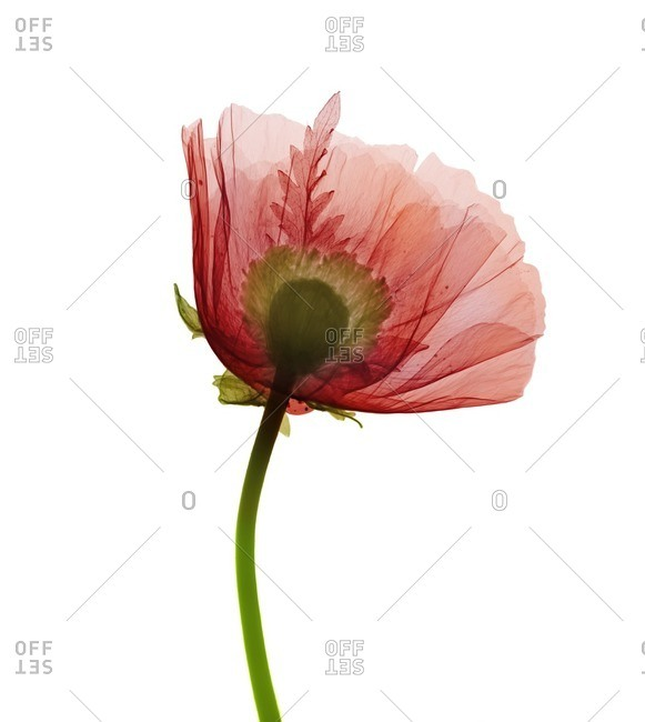 Poppy (Papaver orientalis), colored X-ray