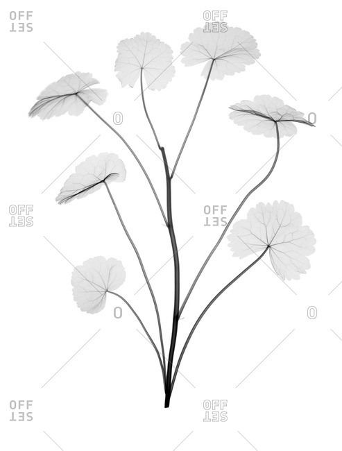 Indian pennywort, or gotu kola (Centella asiatica), X-ray