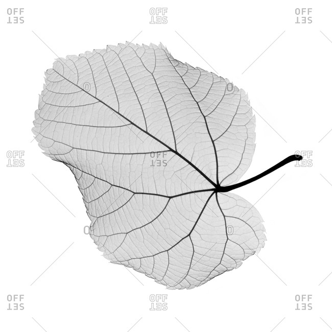 X-ray of a Hazel leaf