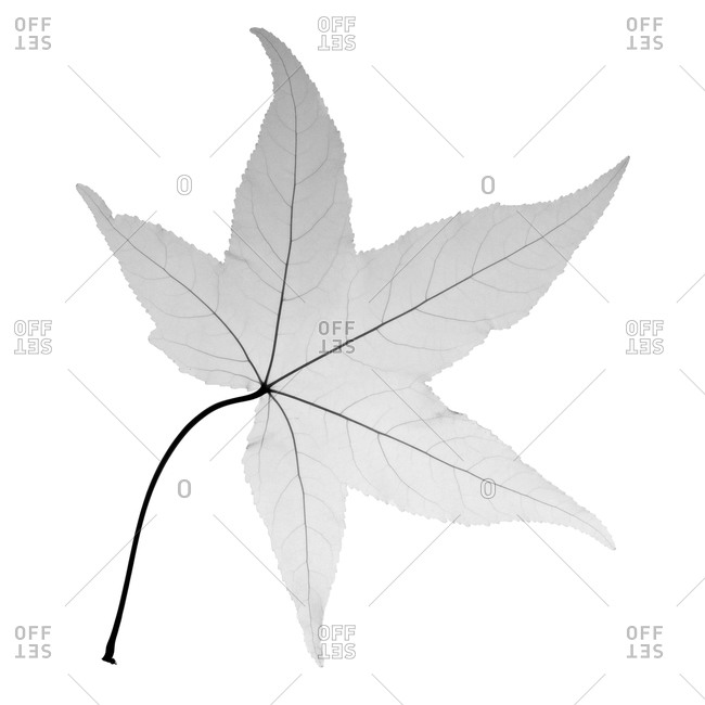 X-ray of a Japanese maple leaf