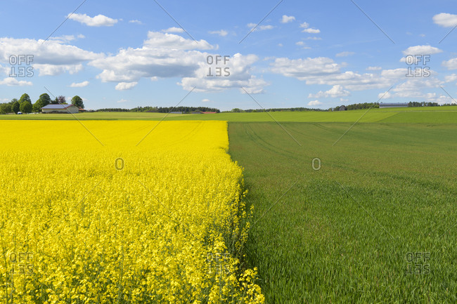 Blooming canola field and grain field in spring, Leibertingen, Swabian Alb, Baden-Wurttemberg, Germany