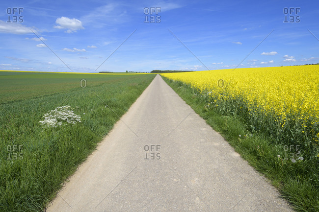 Path with blooming canola field and grain field in spring, Leibertingen, Swabian Alb, Baden-Wurttemberg, Germany