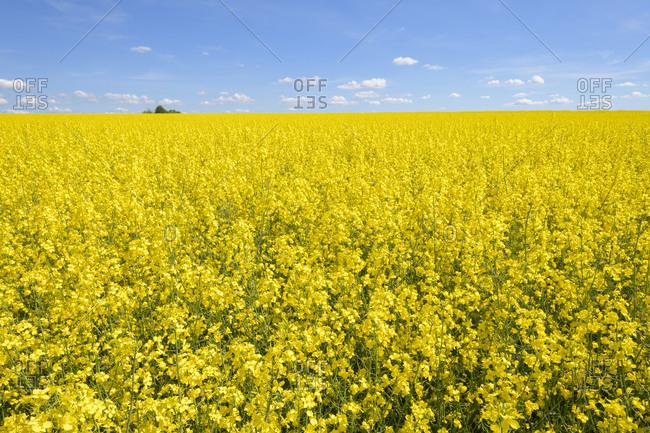 Blooming canola field in spring, Leibertingen, Swabian Alb, Baden-Wurttemberg, Germany